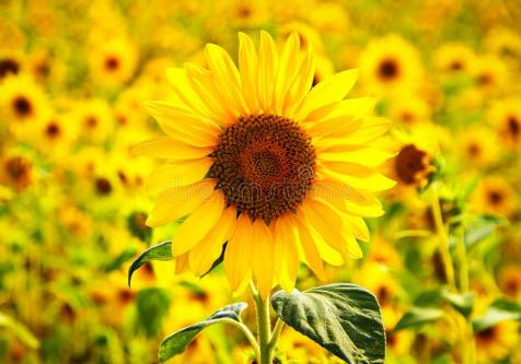 sunflower-happiness-girasol-felicidad-beautiful-receiving-sunlight-bonito-recibiendo-luz-solar-126817961